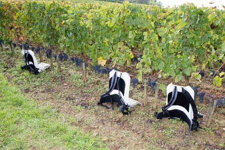 bagpack grapes harvest time in Saint emilion harvesting Bordeaux wine Stock Photo