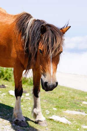 Basque horse pottok face portrait in pyrenees mountain