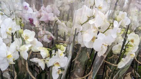 orchids white flowers in packaging plastic on sale in store Stockfoto