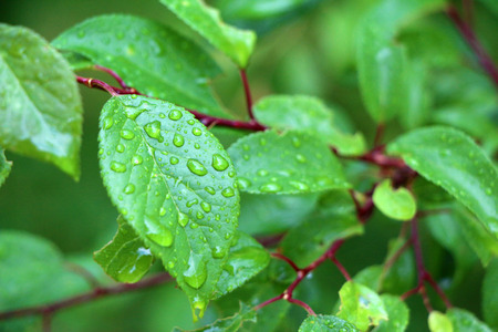 Macro tree branch with raindrops, dew on leaves close-up photography. Green garden after the rain. photo