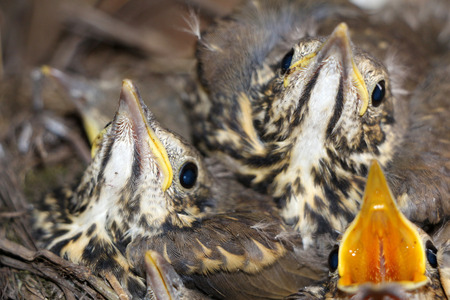 Little baby birds sitting in the nest, close-up photography of nestlings, cute squeakers. Reklamní fotografie