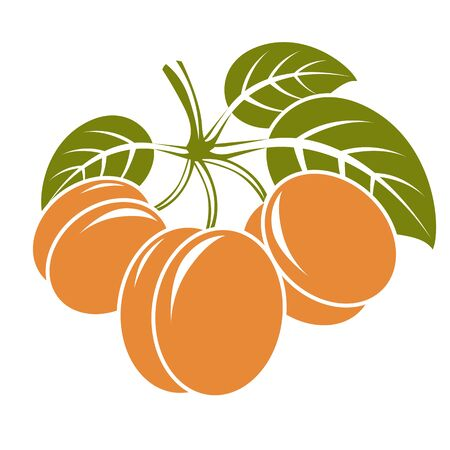 apricots: Harvesting symbol, vector fruits isolated. Ripe organic sweet apricots with green leaves, healthy food idea design icon.