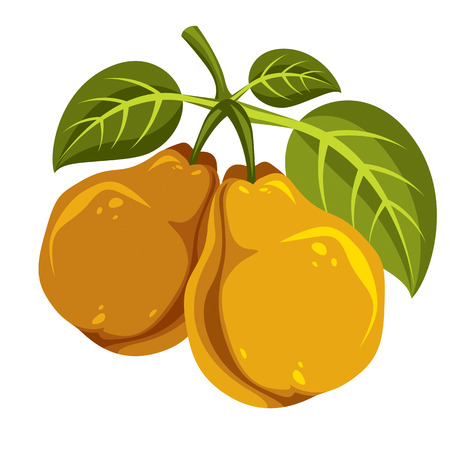 fruitful: Two orange simple vector pears with green leaves, ripe sweet fruits illustration. Healthy and organic food, harvest season symbol.