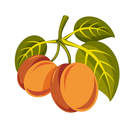 Vegetarian organic food simple illustration, two vector ripe sweet orange apricots with green leaves isolated on white. Whole fruits. Illustration