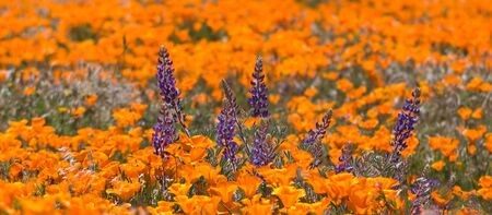 lupine: Pygmy-leaved Lupine surrounded by poppies