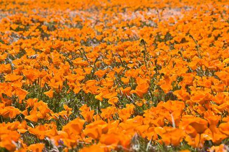 Sea of poppies photo