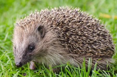 harmless: Hedgehog