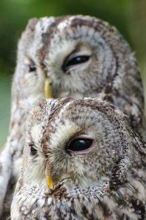 tawny: Two tawny owls