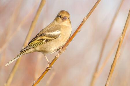 finch: Female finch