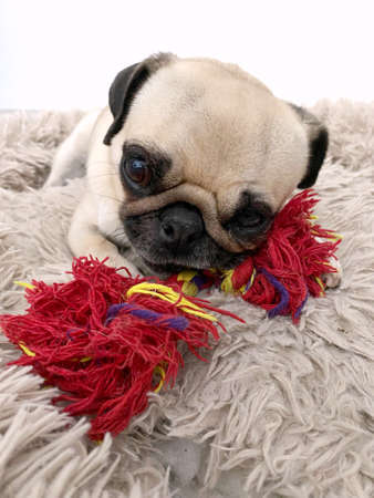 Puppy pug dog with a toy in the bed