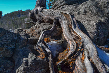 Large sinuous red root of dry tree grows on textured rough stone rock. In winter Siberian forest against blue sky, forest