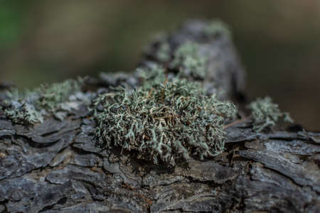 fluffy light green lichen on embossed textured gray bark of a coniferous tree, close-up