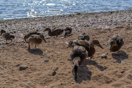Few ducks walk in group along sandy pebble coast. Waves in blue sea with sparkle from sun. Animals with feathers. Shadows on sand. Warm summer