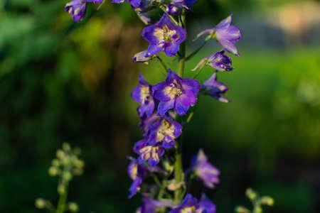 Bright blue purple delphinium flowers with a light yellow center. Sunny green summer garden Archivio Fotografico