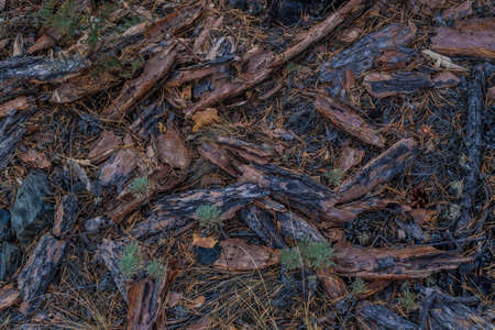 Red orange brown bark dry needles lie on the ground in Siberian damp forest. Pattern. After fire. 免版税图像