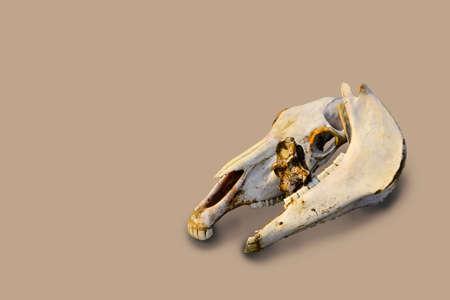 two white old light bones of a horse's skull on beige color backdrop