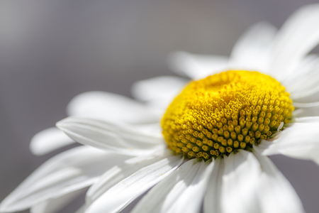 standalone: Flower of Chamomile. Close-up. Stock Photo