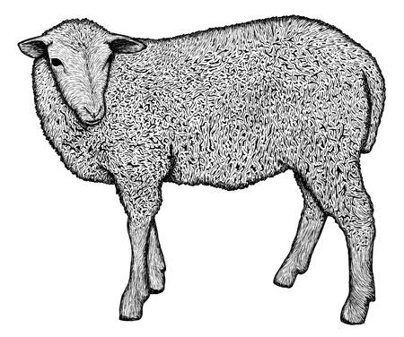 sheep skin: Hand drawn sheep, very detailed