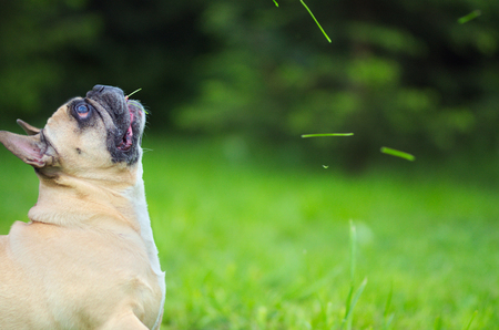 Close up portrait of a French Bulldog, sitting and prepared for a catch the grass Фото со стока