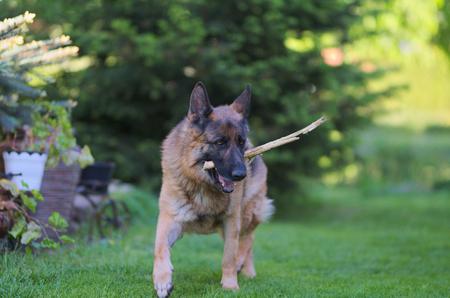 Beautiful Young Brown German Shepherd Dog Close Up. Alsatian Wolf Dog Or German Shepherd Dog On Green Grass Background