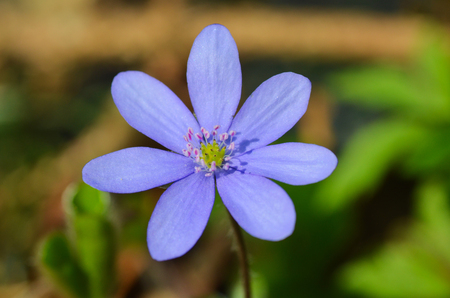 Hepatica early-spring flower in the forest