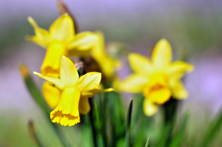 Fiore giallo del narciso della molla, primo piano a macroistruzione