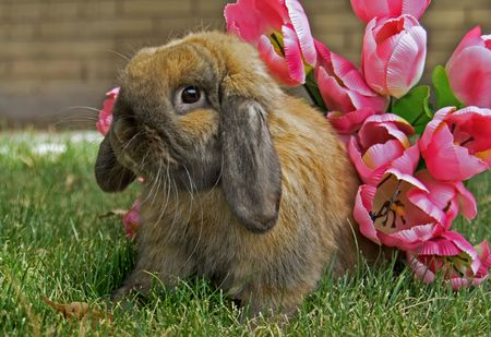 A closeup of a cute brown bunny rabbit sitting on the grass alongside some vibrant pink springtime flowers - perfect for Easter! photo