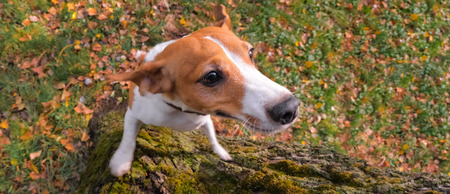Dog terrier behavior. Terrier jumping up. Successful training of terrier dog. View from above.