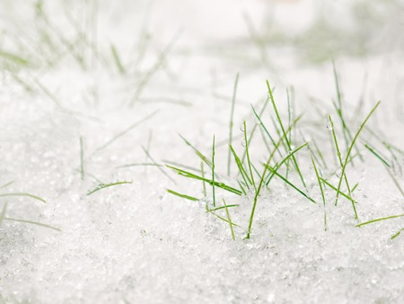Green grass under the snow. Grass covered with snow. White snow and green grass background.