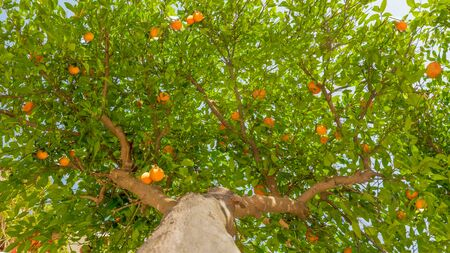 Fruit tree background. Tangerine tree background. Green leaves and ripe fruits on the tree. Harvesting concept. Green tree with fruits. Green leaves background. Tree, trunk, leaves fruits. Garden tree