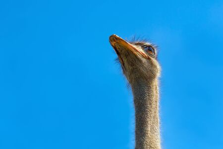 Ostrich head closeup. Ostrich head on clear blue sky. Head of largest bird on blue background. Largest bird. Wild animal. Strong beak, big eyes. Struthio camelus. Long neck and beak