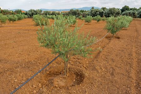 Typical cultivated country land, with olive tree Greece, Italy. Agriculture background. Automatic plant watering system. Olive business concept. Family business. Young olive trees.