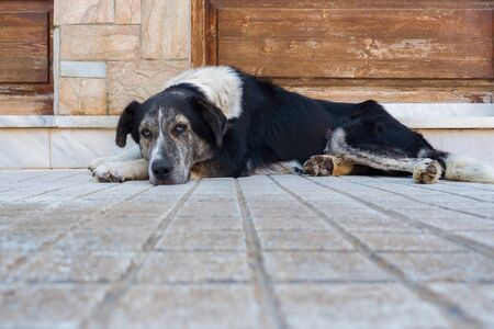 Sad dog lying on his legs. Portrait of half-breed dog outside. Concept of love for our smaller brothers. Big dog waiting for his owner outdoor.
