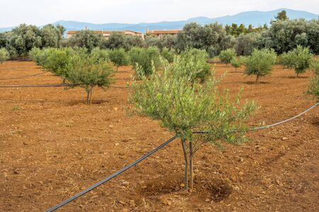Vue sur les oliviers poussant près de l'Acropole d'Athènes le matin. Olivier Paleokastritsa Corfou île grecque. Système d'arrosage automatique des plantes. Banque d'images