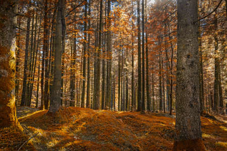 Orange foliage in an italian forest in the mountain