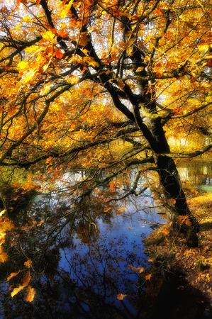 bent over: Oak bent over the water