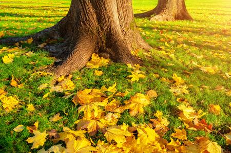sulight: Autumn leaves under the autumn trees at sunset - autumn park in sunset light with autumn leaves on the foreground. Autumn maple fallen leaves in the autumn park. Closeup of autumn leaves under sulight