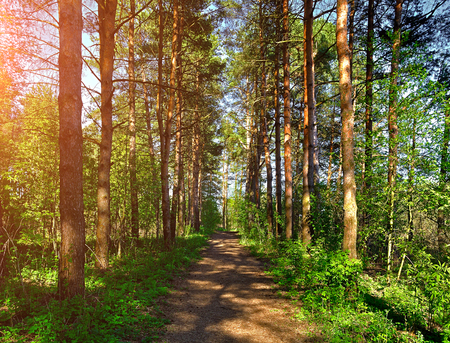 Forest spring landscape - row of pine trees and narrow path under soft sunlight. Spring picturesque forest landscape view of forest trees in sunny weather