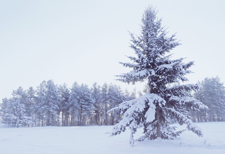 Winter landscape - winter forest with snowy fir tree on the foreground during snowfall in cold weather. Cold tones processing. Winter picturesque scene