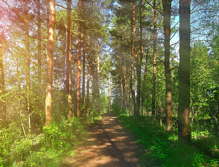 Forest spring landscape - row of pine trees and narrow path lit by soft sunlight