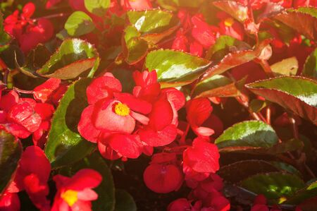 Blooming flowers of red begonia. Natural floral background.