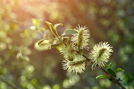 great sallow: Spring background - yellow fluffy buds of willow in the sunset forest Stock Photo