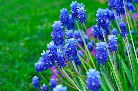 Spring landscape - blossom of muscari flowers in the garden