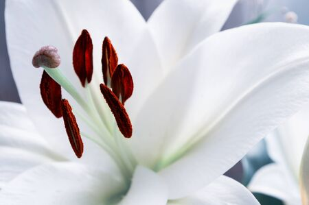 pestil: White lily flower, in latin Lilium Navona. Shallow DOF. Selective focus at the lily flower stamens Stock Photo