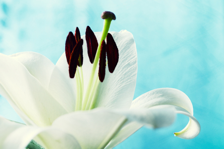 pestil: Flower of white lily, in latin Lilium Navona. Shallow DOF. Flower background in retro tones Stock Photo