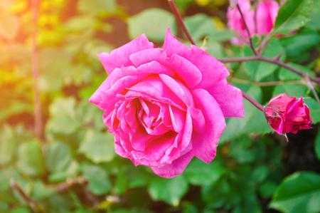 장미 꽃, 근접 촬영보기와 꽃 배경. 얕은 DOF. 스톡 콘텐츠