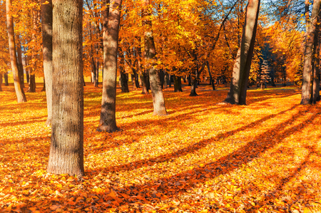 Autumn landscape of sunny autumn park in nice weather. Spreading autumn trees with fallen autumn leaves on the ground Stock Photo