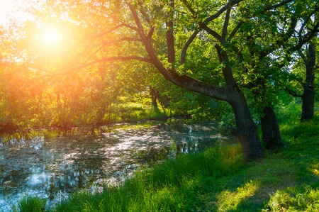 Summer forest landscape. Green oak tree on the bank of the small forest river in summer sunny morning