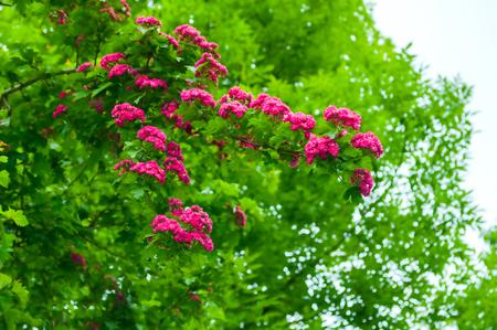 Spring flower landscape. Hawthorn tree pink flowers, in Latin Crataegus Laevigata. Hawthorn in blossom