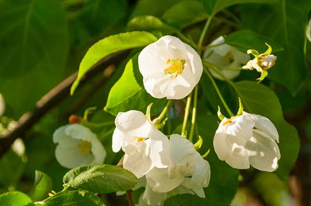 Spring flower landscape. Spring blooming apple flowers. Focus at the central flower. Soft filter applied